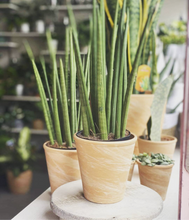 Load image into Gallery viewer, Sanseveria cylindrica - Cylindrical Snake Plant