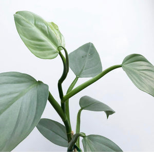 Philodendron hastatum - Silver Sword