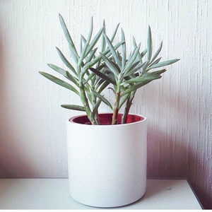 Senecio serpens - Blue Chalksticks