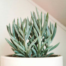 Load image into Gallery viewer, Senecio serpens - Blue Chalksticks