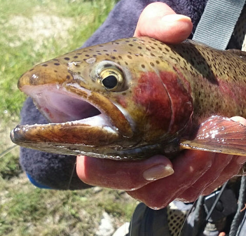 catching trout in the river on a fly rod
