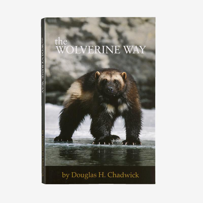 The Wolverine Way | Patagonia Bend