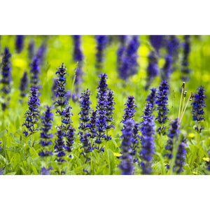 Blue Bugleweed | Ajuga 'Feathered Friends Cordial Canary'