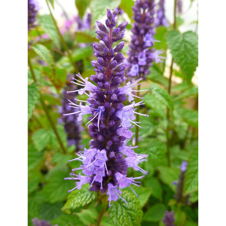 Agastache 'Little Adder'