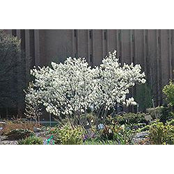 Amelanchier x grandiflora 'Autumn Brilliance' Multistem