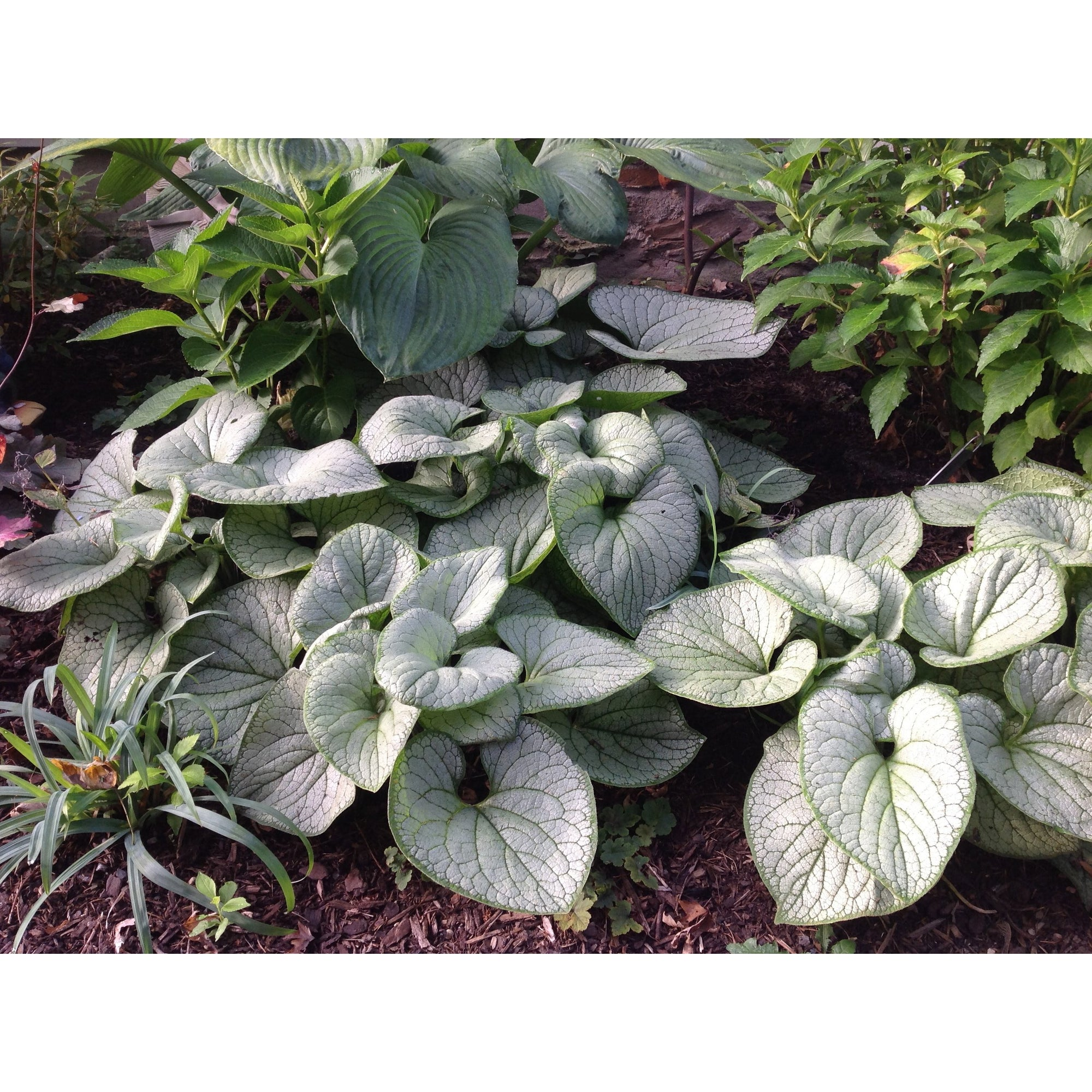 Brunnera mac. 'Silver Heart'