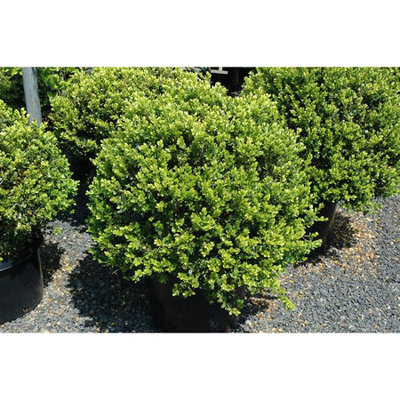 Boxwood Deep Green | Buxus 'NewGen Independence®'