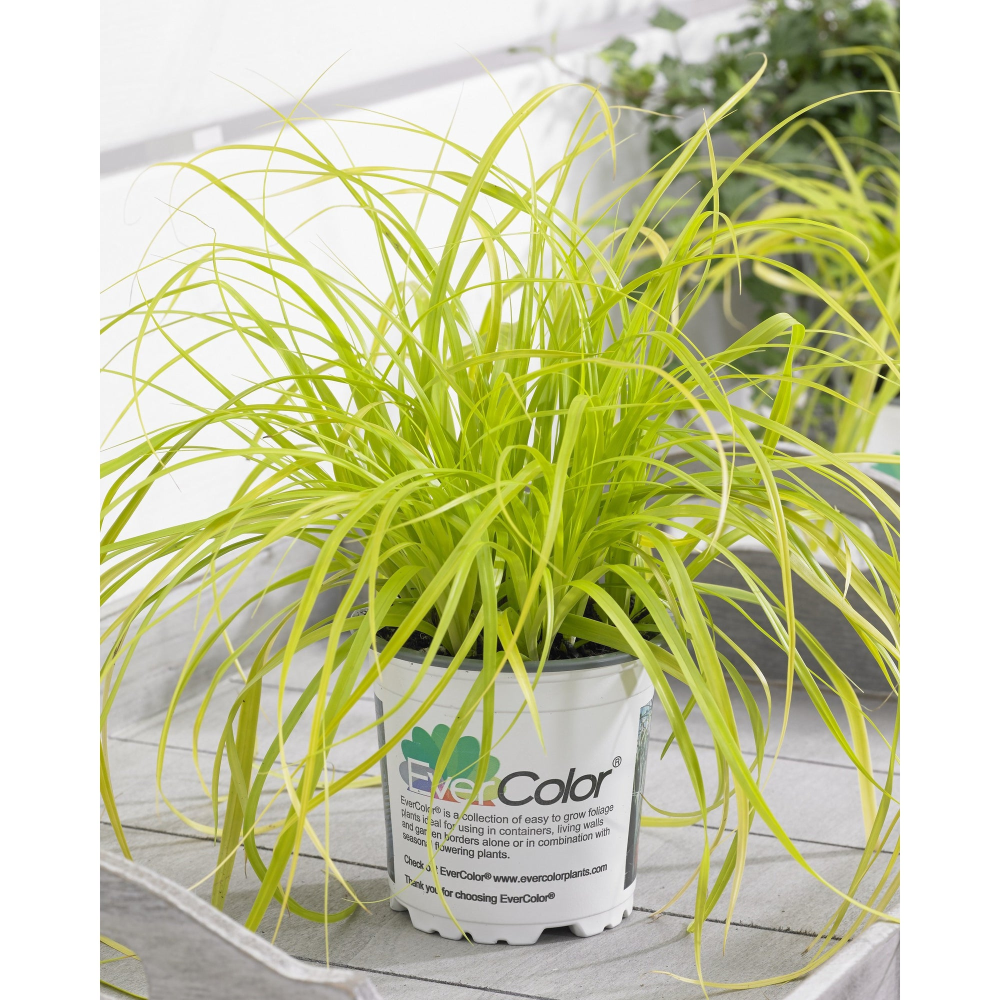 Carex 'Everillo'