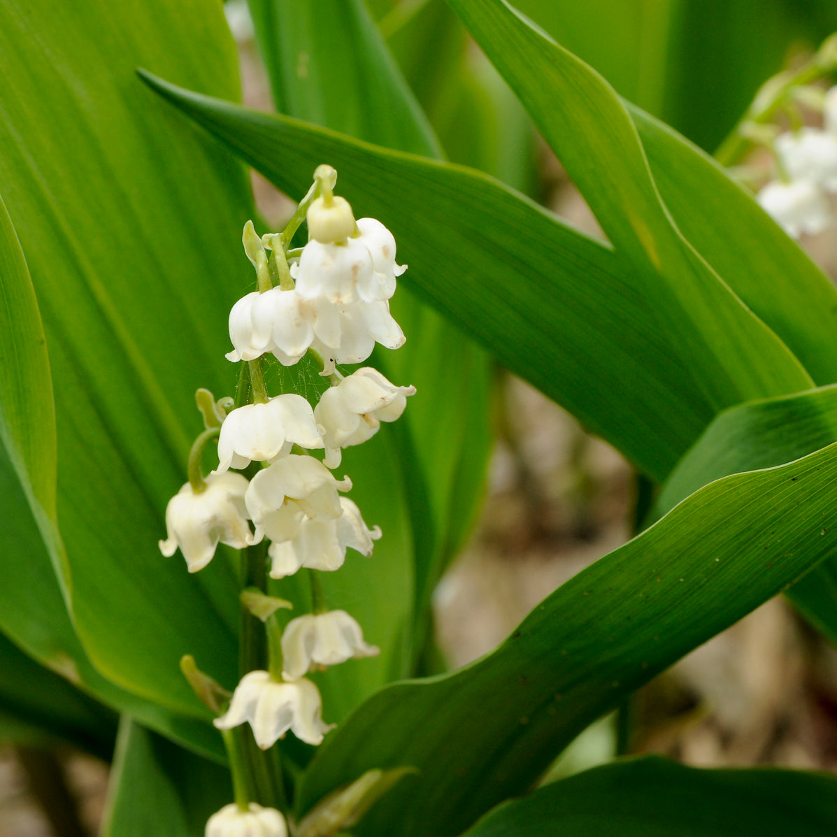 Convallaria 'Bordeaux Giant'