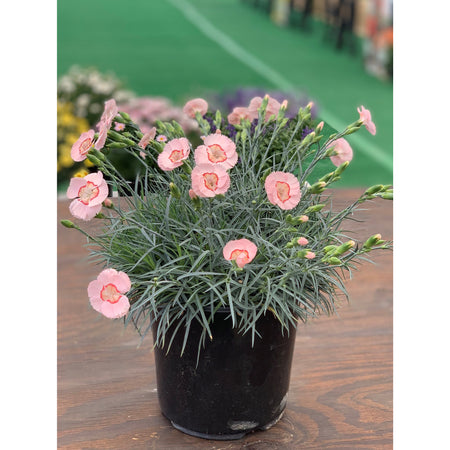 Dianthus 'American Pie Georgia Peach Pie'
