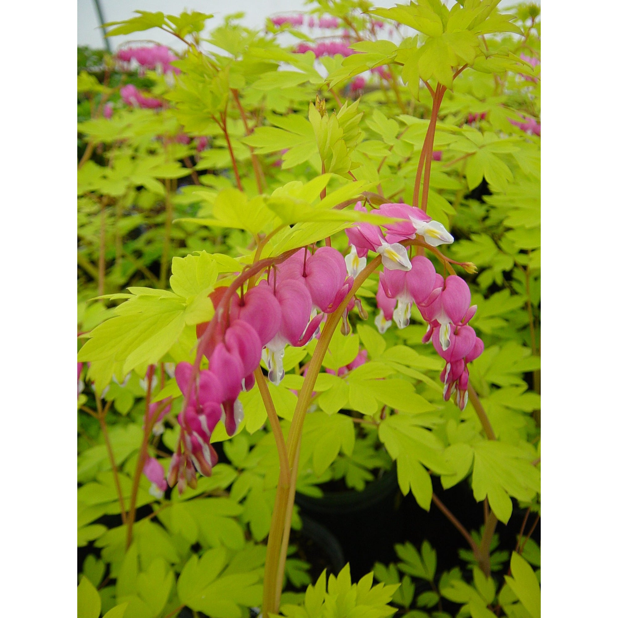 Dicentra spec. 'Gold Heart'