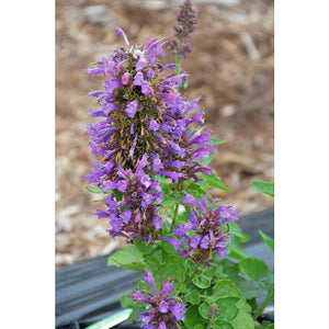 Purple Hummingbird Mint | Agastache 'Crazy Fortune'