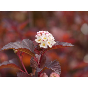 Physocarpus 'Ginger Wine'
