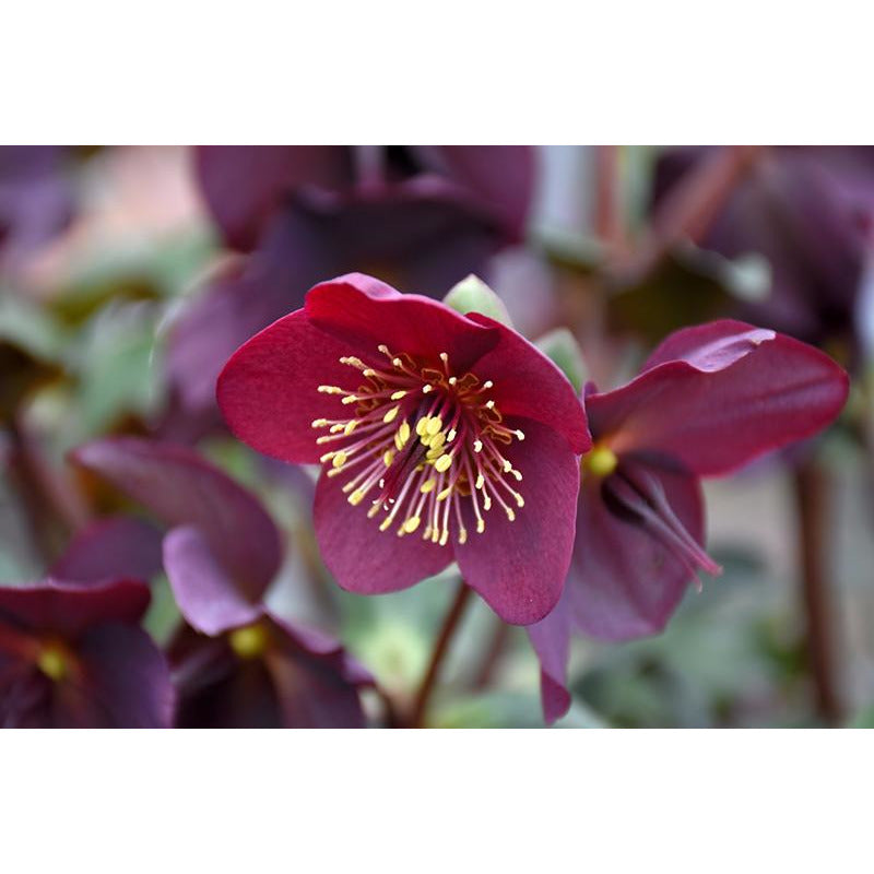 Helleborus 'Ice N Roses Red'
