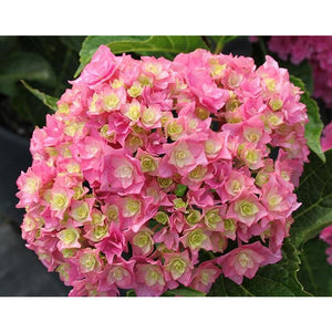 Hydrangea mac. 'Licorice Lollypop'