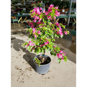 Bougainvillea Patio Tree
