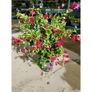 "Mandevilla Deep Red 10"" Trellis"
