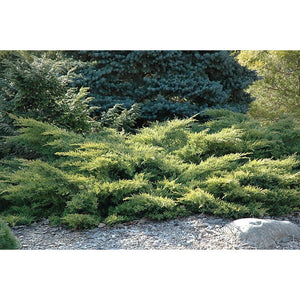 Gold Star Juniper | Juniperus chinensis 'Gold Star'