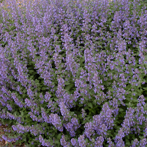 Nepeta 'Walkers Low'