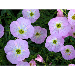 Oenothera 'Twilight'