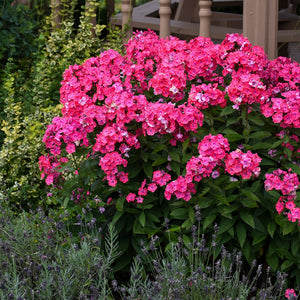 Phlox pan. 'Glamour Girl'