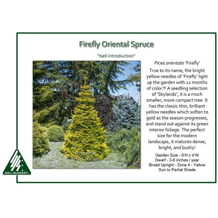 Picea Orientalis 'Firefly'