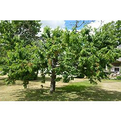 Prunus Bing Cherry Semi Dwarf