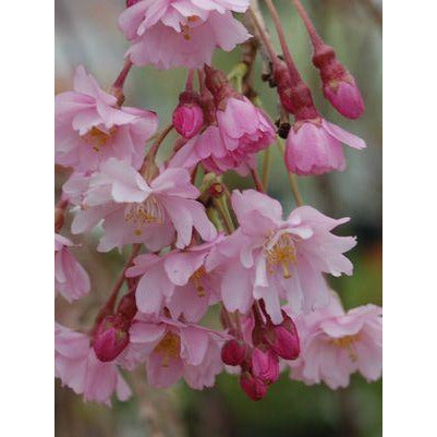 Prunus Subhirtella 'Pink Snow Showers'