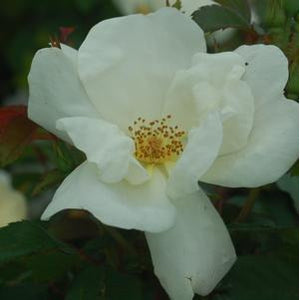 Rosa' White Knock Out'