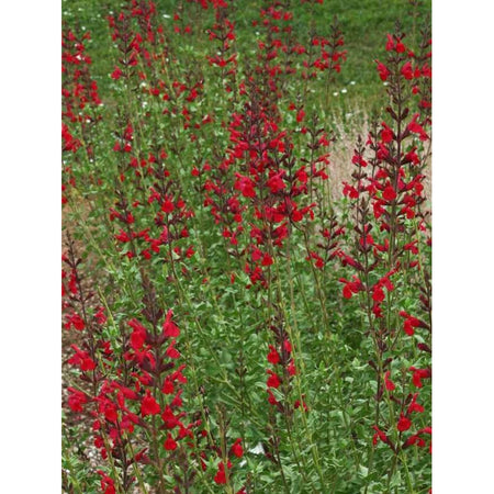 Salvia 'Windwalker Royal Red'