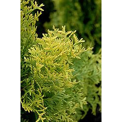 Thuja occidentalis 'Amber Gold'