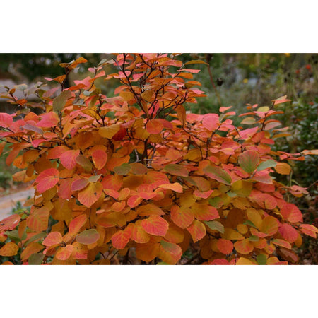 Aronia 'Autumn Magic'