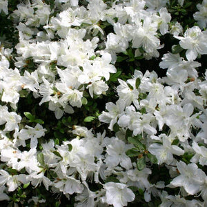 Azalea 'Delaware Valley White'