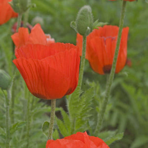 Papaver 'Prince Of Orange'