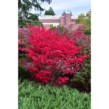 Fiery Red Compact Winged Burning Bush | Euonymus alatus 'Compactus'