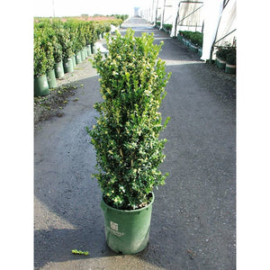 Buxus 'Green Tower'