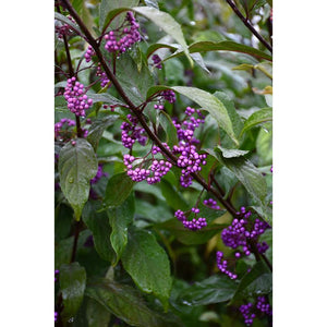Callicarpa 'Purple Pearls'