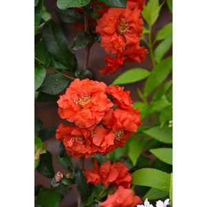 Chaenomeles 'Double Take Orange'