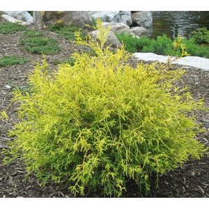 Chamaecyparis 'Gold Mop'
