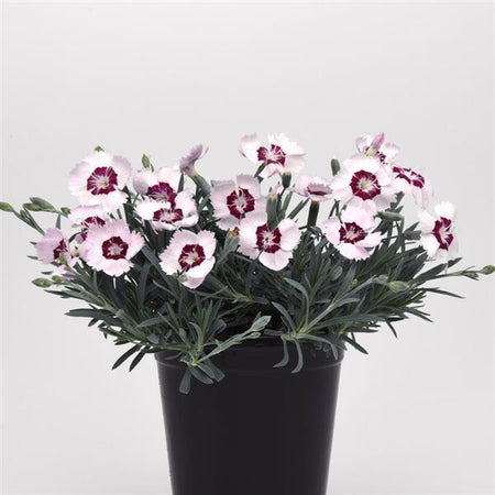 Dianthus 'Ruby Snow'