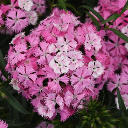 Dianthus 'Rockin Pink Magic'