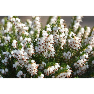 Erica 'White Perfection'