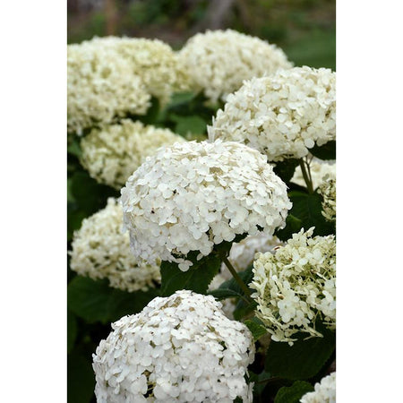 White Smooth Hydrangea | Hydrangea arborescens 'Invincibelle Wee White'