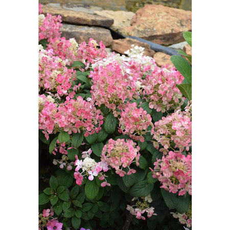 Hydrangea 'Little Quick Fire'
