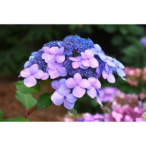 Hydrangea mac. 'Twist N Shout'