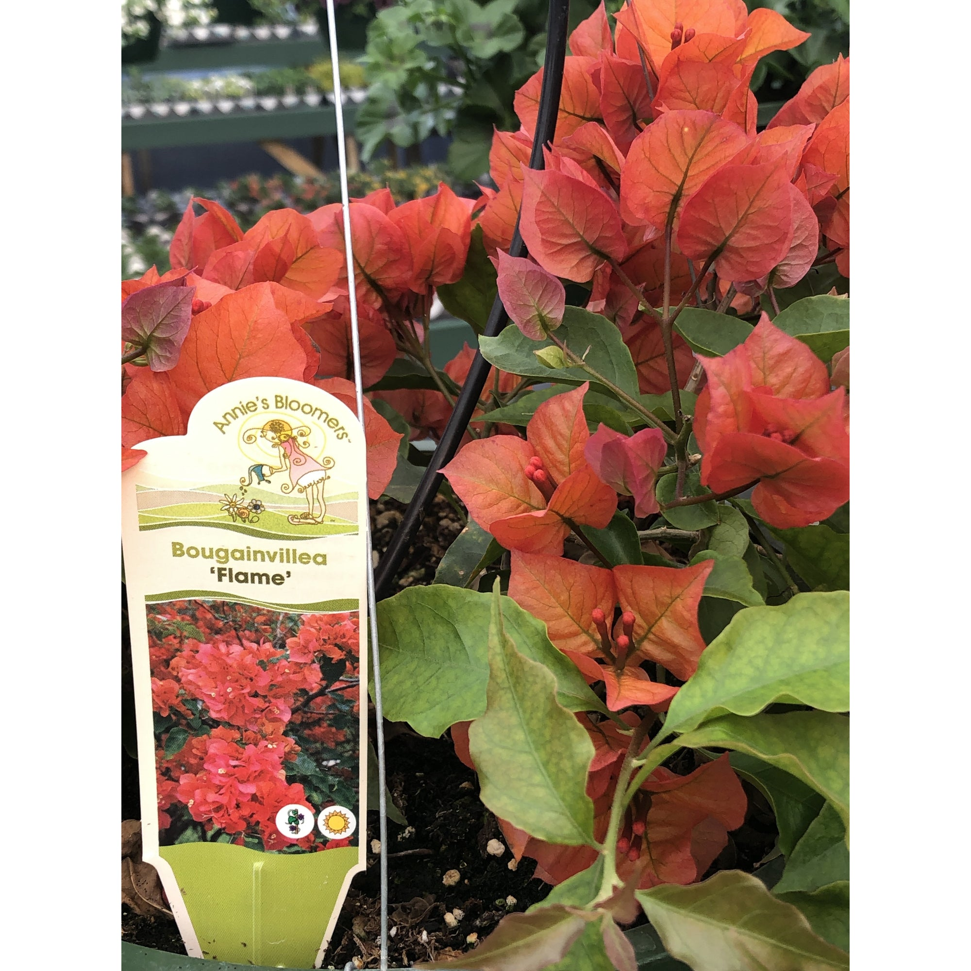 Bougainvillea Hanging Basket - 10""