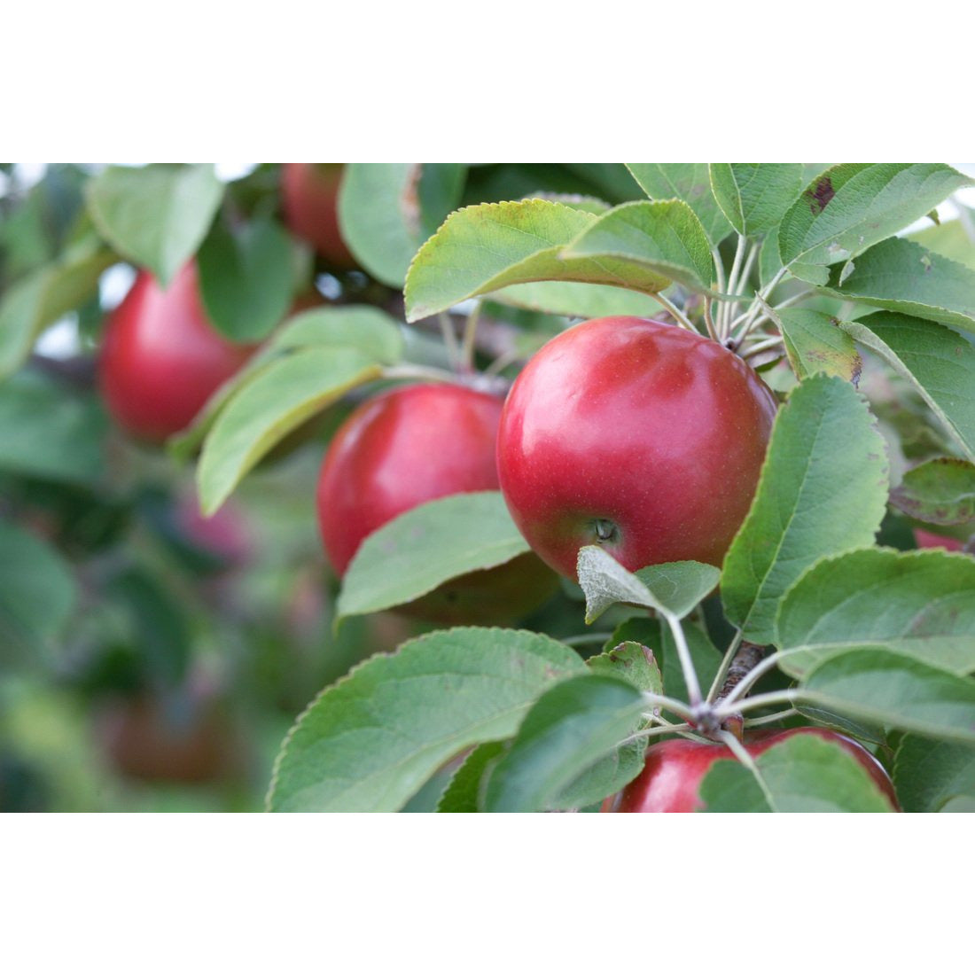 Malus 'Snow Sweet' Semi Dwarf Apple