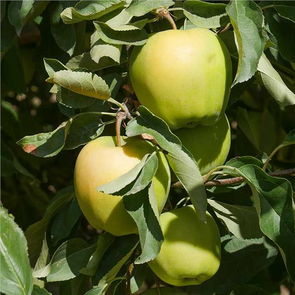 Malus 'Yellow Delicious'