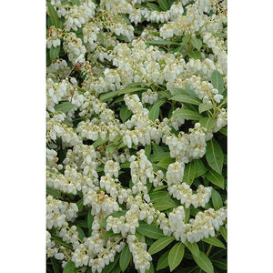 Pieris jap. 'Cavatine'
