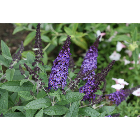 Blue Butterfly Bush | Buddleia 'Pugster Blue®'